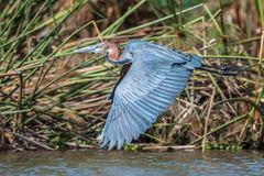 Grey African heron bird flying over the water close up. Stock Photography