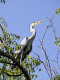 Grey african heron in tree Royalty Free Stock Photos