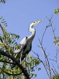 Grey african heron in tree. Grey african heron bird hunting in tree Royalty Free Stock Photos