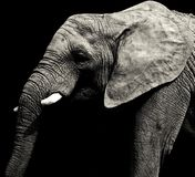 Grey African-olifant Stock Foto's