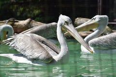 Grey African Pelican Pelecanus Rufescens che nuota sullo stagno fotografia stock