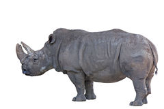 Grey african rhino isolated on white Stock Photos