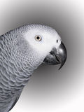 Grey africano del Congo fotografia stock