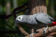 Grey africano del pappagallo Immagini Stock Libere da Diritti