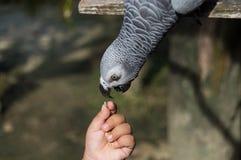 Grey africano del pappagallo Fotografia Stock