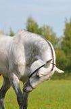 Grey akhal-teke horse. On summer background royalty free stock photo