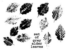 Grey alder leaves Stock Photos