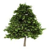 Grey alder tree isolated on white. Background stock illustration