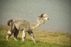 Grey Alpaca Fotografie Stock Libere da Diritti