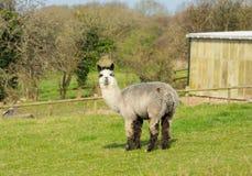 Grey alpaca black ears in a field standing looking at camera Stock Image