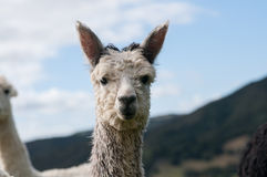 Grey Alpaca Stock Photo