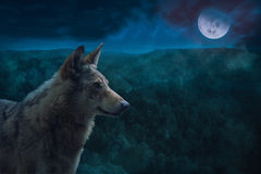 Grey Alpha Wolf During Full Moon Night i vildmarken royaltyfria foton
