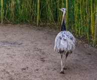Grey American rhea walking in the sand, view from behind, Near threatened animal specie from America, big flightless bird. A grey American rhea walking in the royalty free stock photo