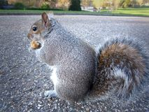 A grey American Squirrel is eating a peanut Stock Image