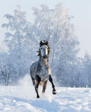 Grey Andalusian horse gallops on snowfield. Grey purebred Spanish horse gallops on snowfield Royalty Free Stock Photos