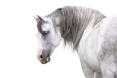 White horse on white royalty free stock images