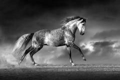Grey andalusian horse Stock Photos
