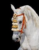 Grey andalusian horse spanish decoration. Grey andalusian horse stallion in spanish decoration. aganst black background Royalty Free Stock Photography