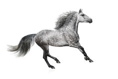 The grey Andalusian stallion gallops on white background Stock Photography