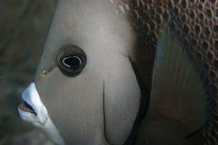 Grey Angelfish. Headshot of grey angel Stock Photography