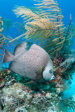 Grey Angelfish Stock Photography