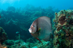 Grey Angelfish. On a coral reef in the Bahamas stock image