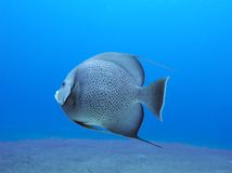 Grey Angelfish royalty free stock images