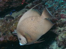 Grey_angelfish stockfoto