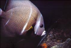 Grey Angelfish royalty-vrije stock afbeelding