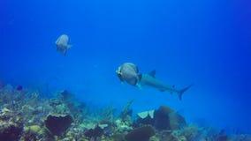Grey angelfish and Caribbean reef shark in Jardin de la Reina, Cuba stock video footage