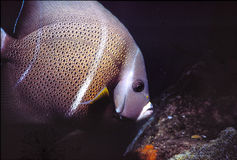 Grey Angelfish. Caribbean Sea night shot in Bonaire royalty free stock image