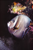Grey Angelfish. Caribbean Sea night shot in Bonaire stock images