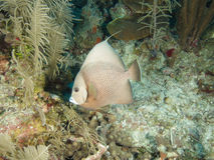 Grey angelfish in Cuba's stunning Jardin de la Reina royalty free stock photo
