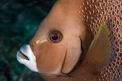 Grey angelfish head royalty free stock photo