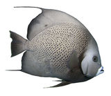 Grey Angelfish - Isolated. Grey Angelfish Isolated with a white background stock photo