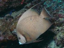 Grey_angelfish stock photo