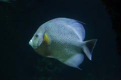 Grey angelfish Pomacanthus arcuatus. Grey angelfish Pomacanthus arcuatus, also known as the black angelfish Stock Photos