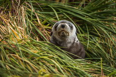 Grey Antarctic fur seal with eyes shut Stock Image