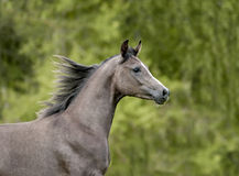 Grey arab colt portrait in action Stock Photography