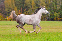 Grey arab horse galloping through the forest Royalty Free Stock Image