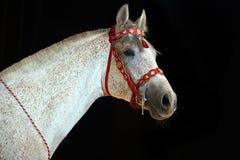 Grey arab horse runs free Royalty Free Stock Photos