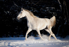 Grey arab horse runs free in winter Stock Photo