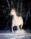 Grey arab horse runs free in winter Stock Photography