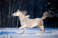 Grey arab horse runs free in winter Royalty Free Stock Photo