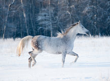 Grey arab mare runs free in winter Royalty Free Stock Photography