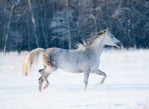Grey arab mare runs free in winter royalty free stock photography