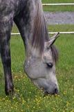 Grey Arabian. Closeup image of a arabian horse grazing amoung little yellow flowers Stock Image