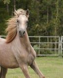 Grey Arabian colt. Grey Arabian yearling colt with mane flying Stock Photos