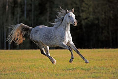 Grey Arabian galloping Stock Photos