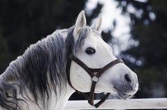 Grey Arabian hingststående Royaltyfria Bilder